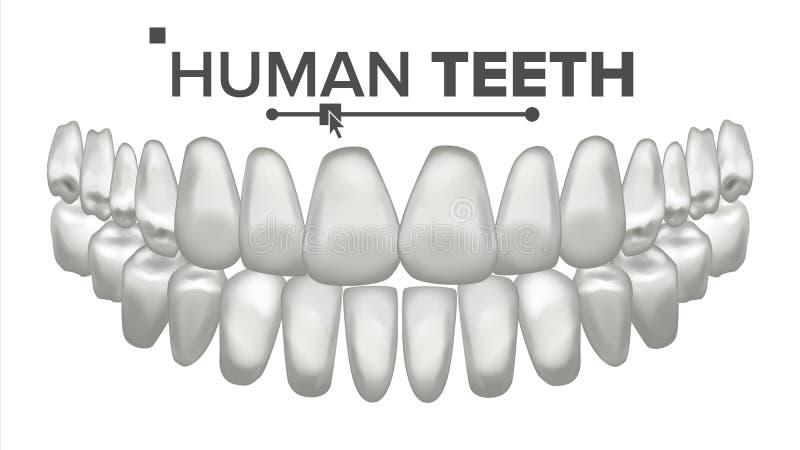 Vektor för tandmunanatomi mänskliga tänder Sunda vita tänder Tandläkekonstläkarundersökningbegrepp isolerat realistiskt 3D royaltyfri illustrationer