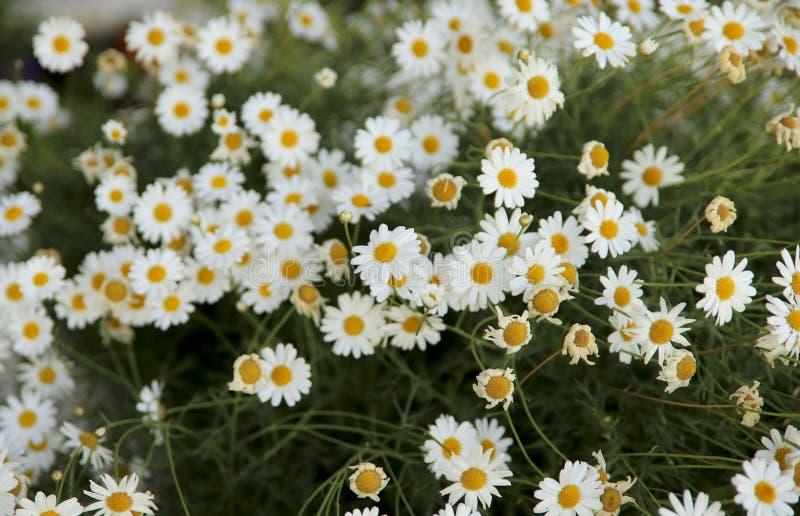 vektor f?r detaljerad teckning f?r bakgrund blom- Mycket vita tusenskönor på en blomsterrabatt i trädgården royaltyfria foton