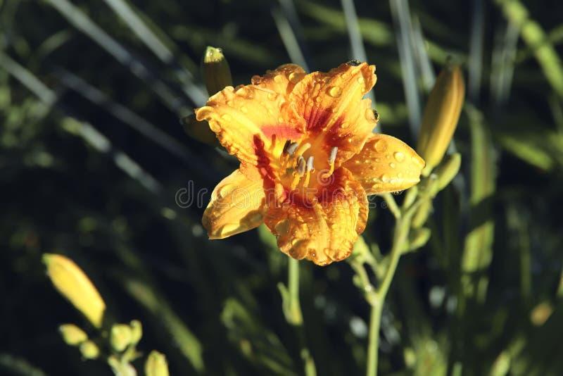 vektor f?r detaljerad teckning f?r bakgrund blom- Orange daylilyblommor för Hemerocallis med daggdroppar på en bakgrund av grönt  arkivfoton