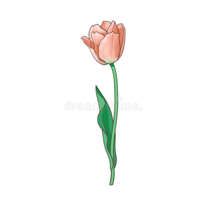 Vektor geöffnete Tulpe lokalisierte Illustration stock abbildung