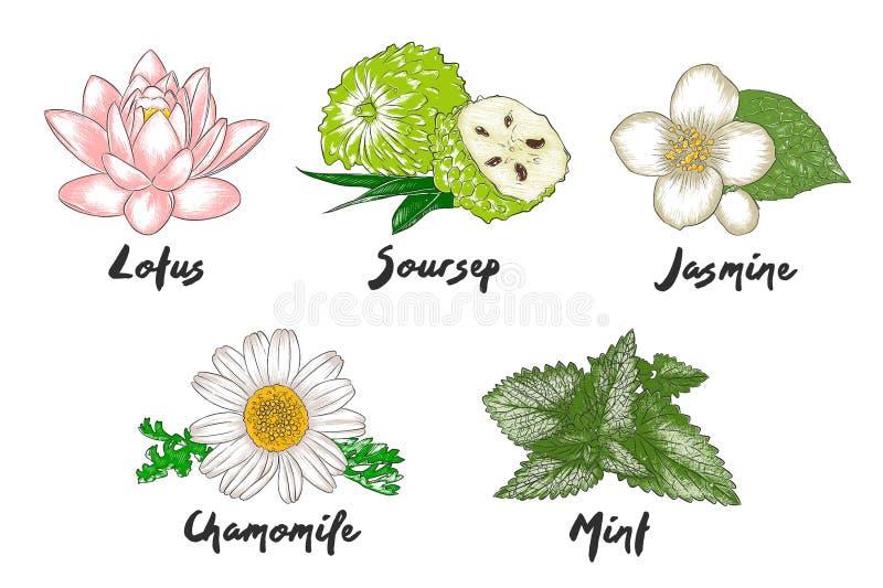 Vektor gravierte organische Kraut-, Gewürz- und Blumensammlung für Plakate, die Dekoration und verpackte, Logo stock abbildung