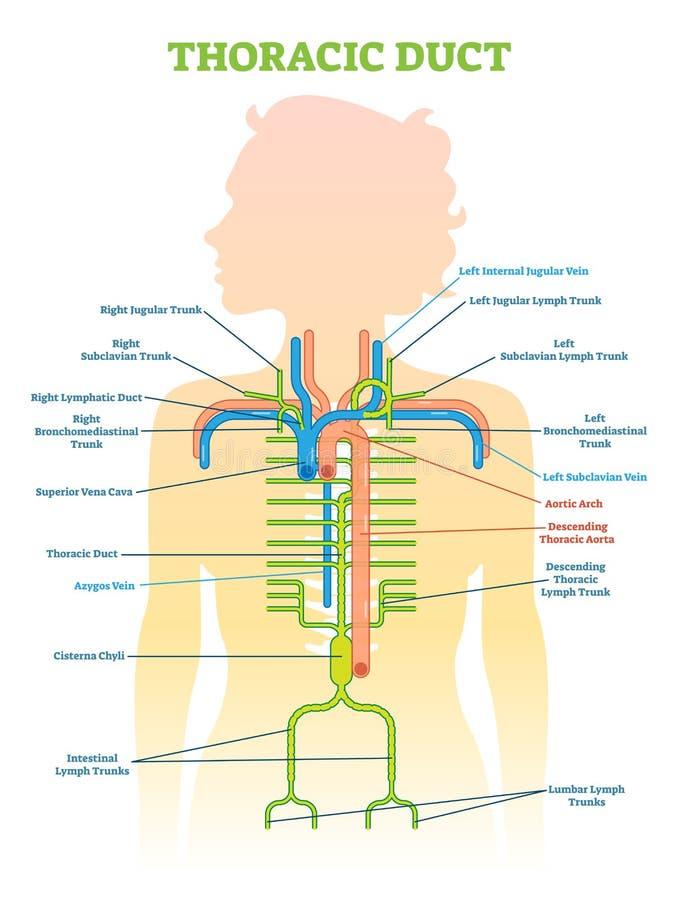 Beste Anatomisches Diagramm Zeitgenössisch - Menschliche Anatomie ...