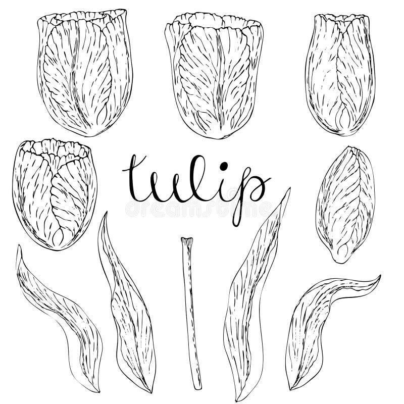 Vektor isolerad tulpan på vit royaltyfri illustrationer