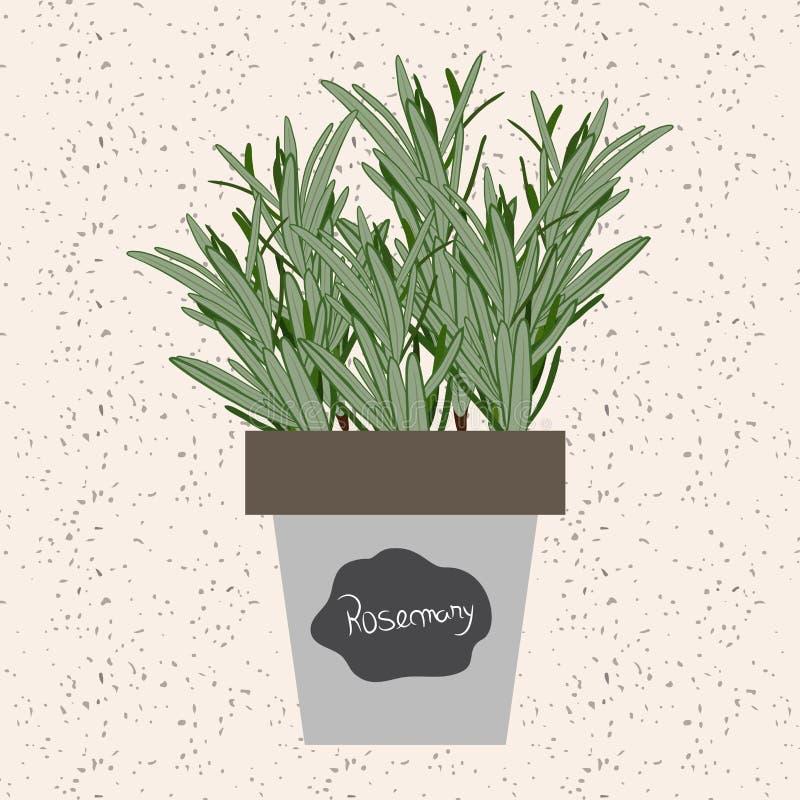 Vektor - ny rosmarinört i en blomkruka Aromatiskt sidabruk stock illustrationer