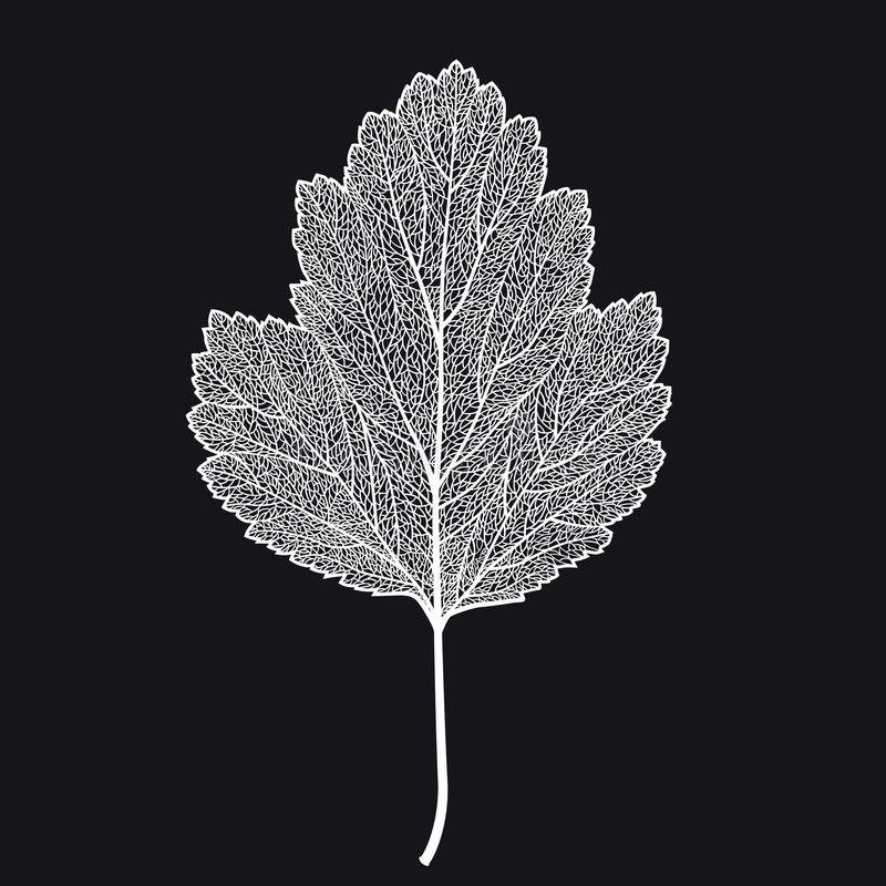 Vektor skeletonized blad av en hagtorn på en svart bakgrund vektor illustrationer