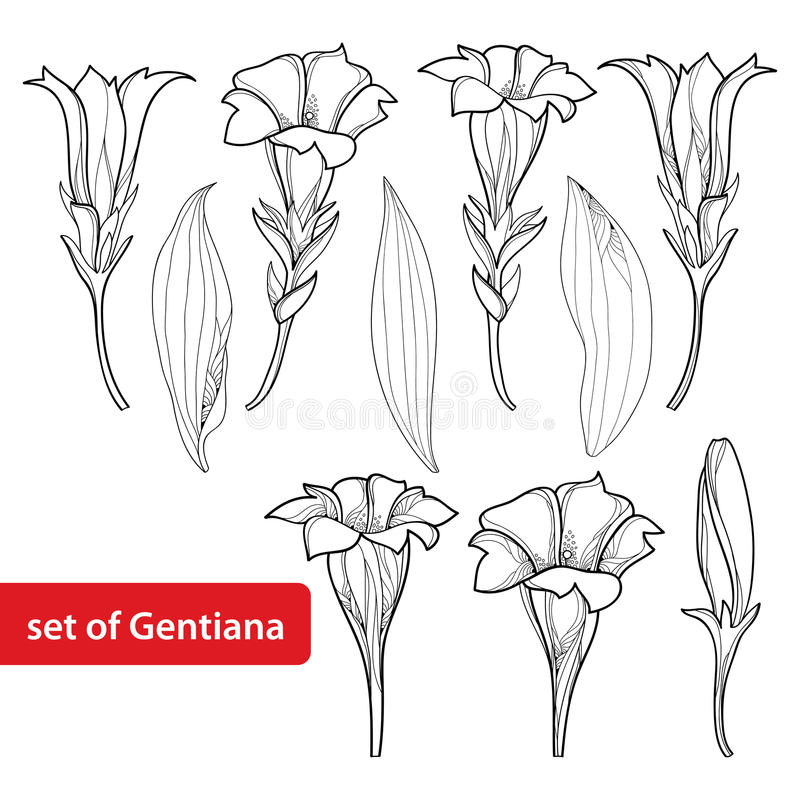 Vektor stellte mit Entwurf die Enzian- oder Enzianblume, Knospe und Blatt ein, die auf weißem Hintergrund lokalisiert wurden Alpi vektor abbildung