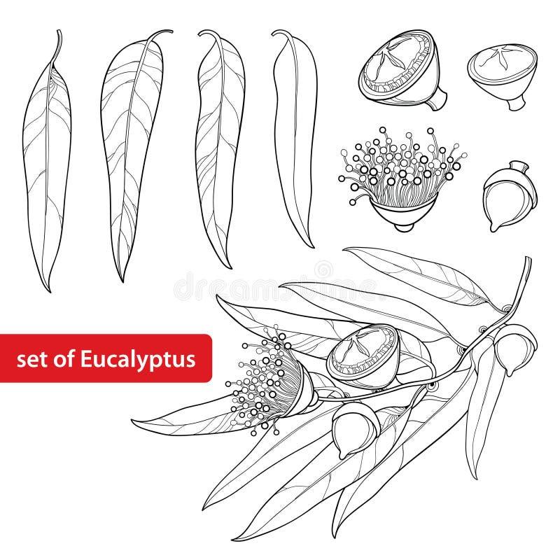 Vektor stellte mit Entwurf Eukalyptus globulus oder tasmanischer blauer Gummi, Frucht, Blume und Blätter auf weißem Hintergrund e stock abbildung