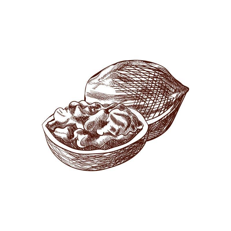 Vektor-Walnüsse, Hand gezeichnete Illustration, Entwurfszeichnung lokalisierten Nuss-Ikone lizenzfreie abbildung