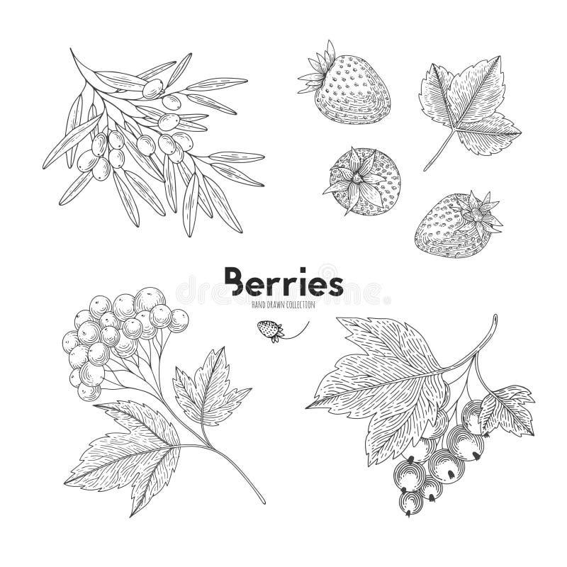 Vektorbeeren lokalisiert auf weißem Hintergrund Sanddorn, Erdbeere, Hagebutte, Korinthe Konturnentwurfsart stock abbildung