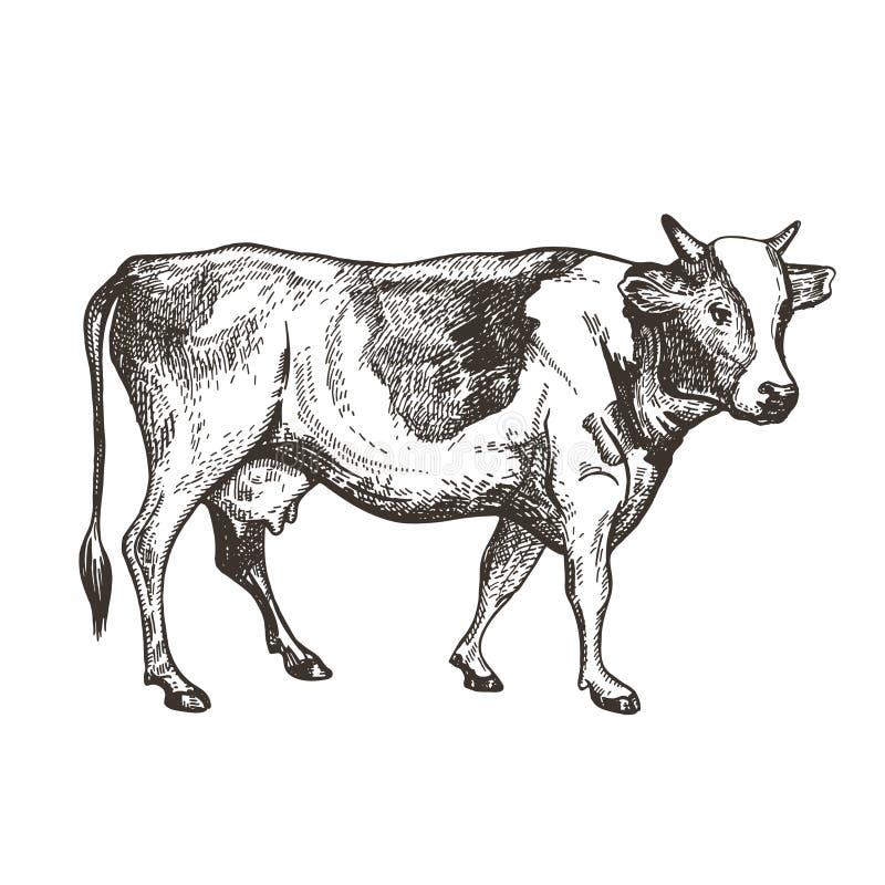 Vektorbild av en ko Tappning skissar royaltyfri illustrationer