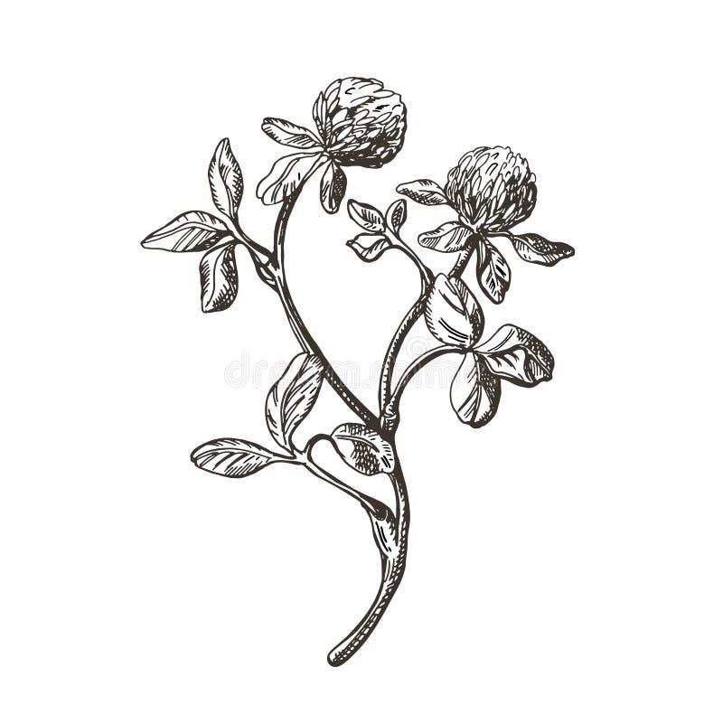 Vektorbild av växt av släktet Trifoliumfilialen Illustration i tappningstil royaltyfri illustrationer