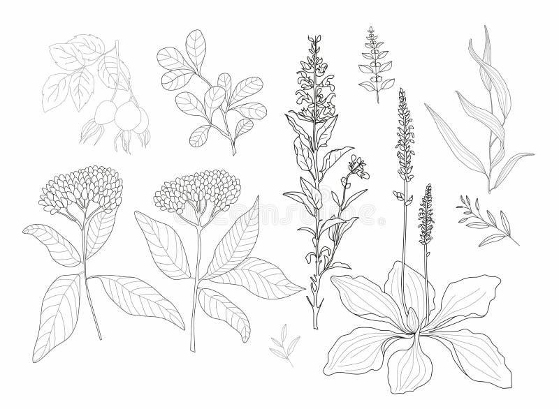 Vektorblumen und -kräuter lizenzfreie abbildung