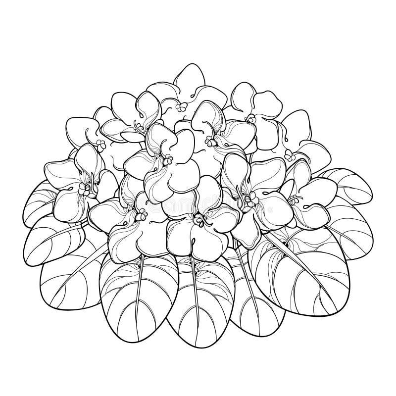 Vektorbukett med översiktsSaintpaulia eller blomman och bladet för afrikansk violet i svart som isoleras på vit bakgrund Altfiolb vektor illustrationer