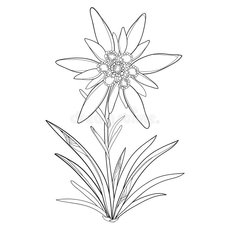 Vektorentwurf Edelweiß oder Leontopodium alpinum Blume und Blätter lokalisiert auf weißem Hintergrund Symbol von Alp Mountains vektor abbildung