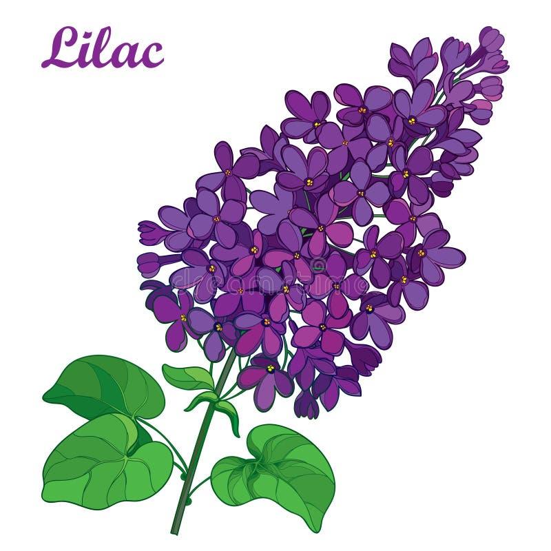 Vektorfilial med för purpurfärgad gruppen lila- eller Syringablomma för översikt och utsmyckade gräsplansidor som isoleras på vit royaltyfri illustrationer