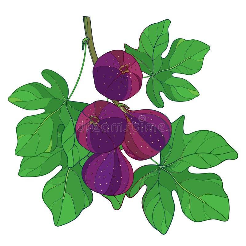 Vektorfilial med mogen gemensam fikonträd- eller Ficus Carica för översikt frukt i lila- och gräsplanbladet som isoleras på vit b vektor illustrationer