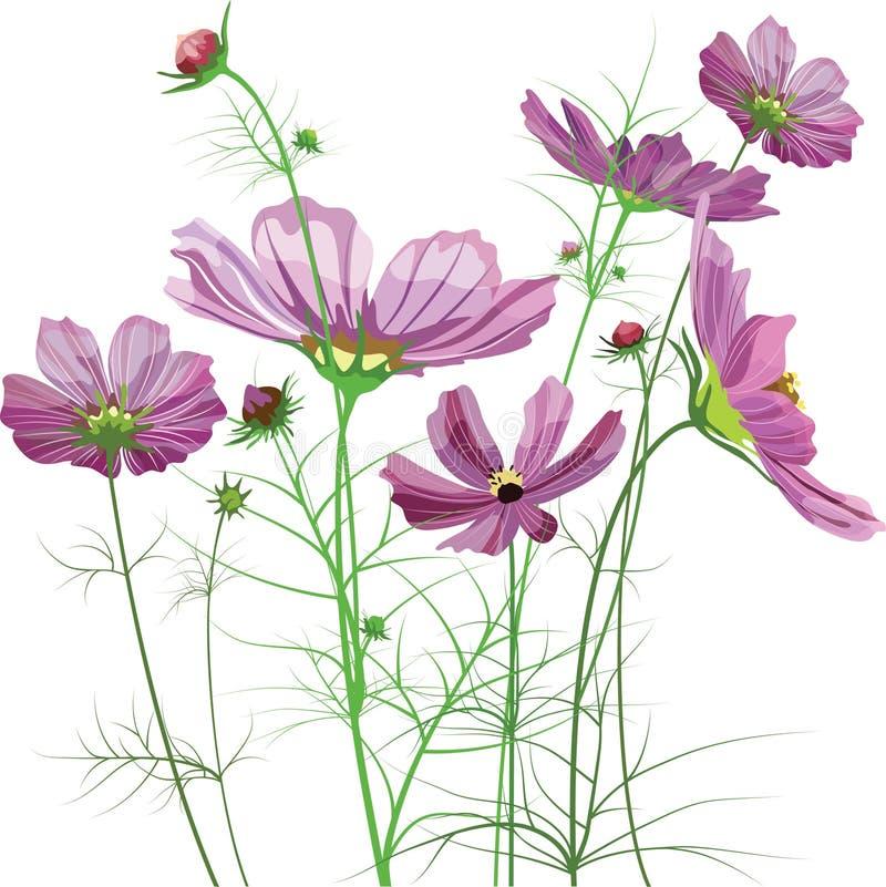 Vektorgartenblumen, Kosmos bipinnatus stock abbildung