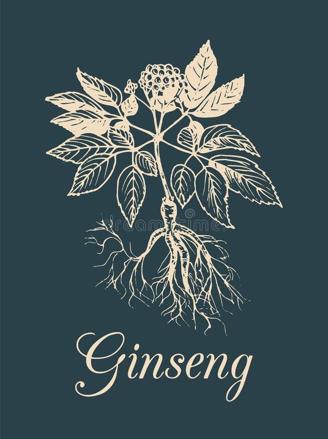 Vektorginsengillustration auf dunklem Hintergrund Hand gezeichnete Skizze der Heilpflanze Botanische Zeichnung in der Stichart stock abbildung