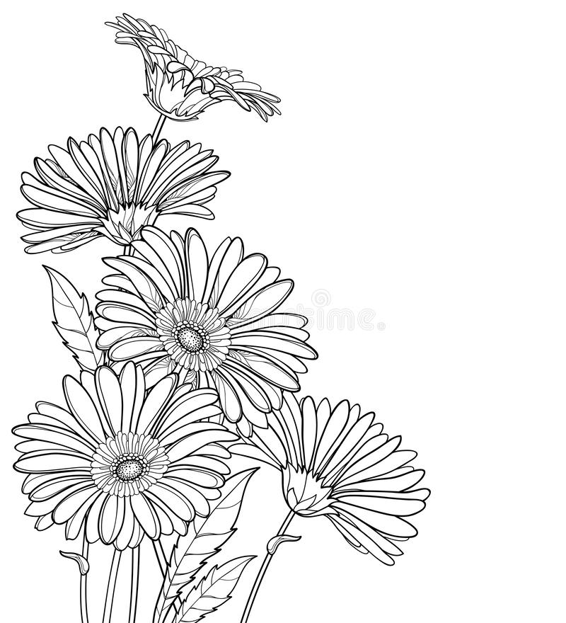 Vektorhörnbukett av den översiktsgerbera- eller Gerber blomman i svart som isoleras på vit bakgrund Grupp av konturgerberaen vektor illustrationer