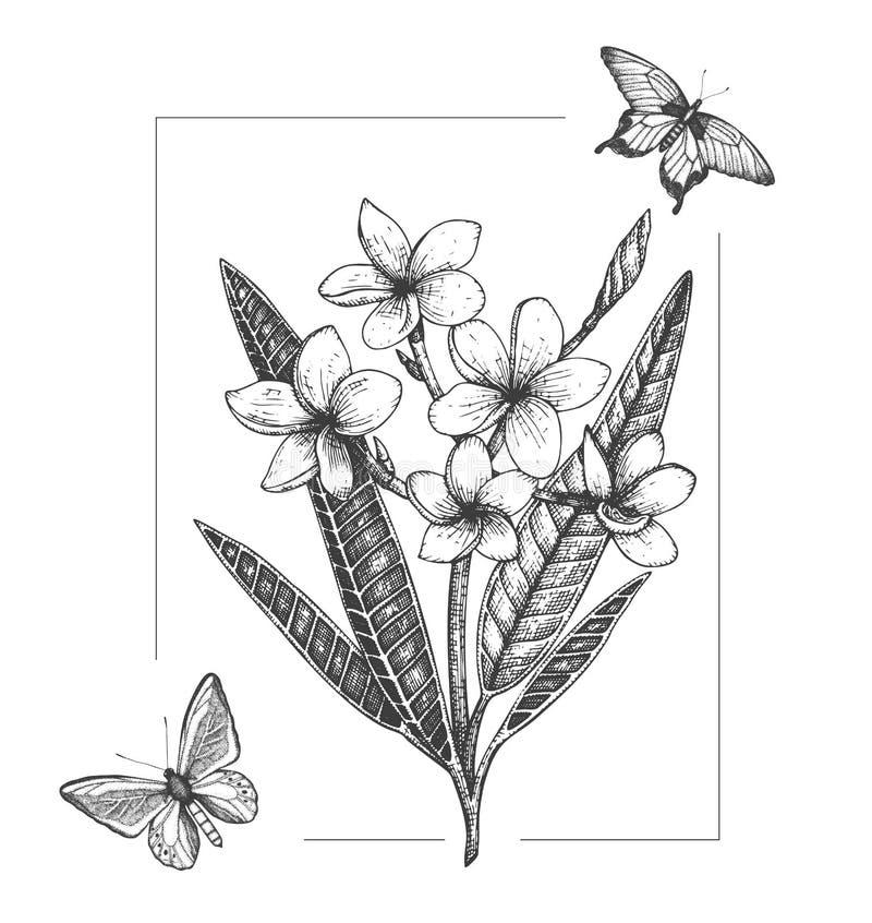 Vektorillustration av den tropiska blomman med fjärilar som isoleras på vit bakgrund Utdragen plumeria för hand, kryp Blom- diagr vektor illustrationer