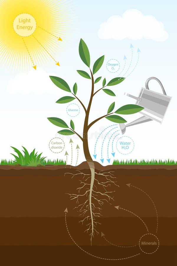 Vektorillustration av fotosyntesprocessen i växt Biologiintrig av fotosyntes för utbildning stock illustrationer