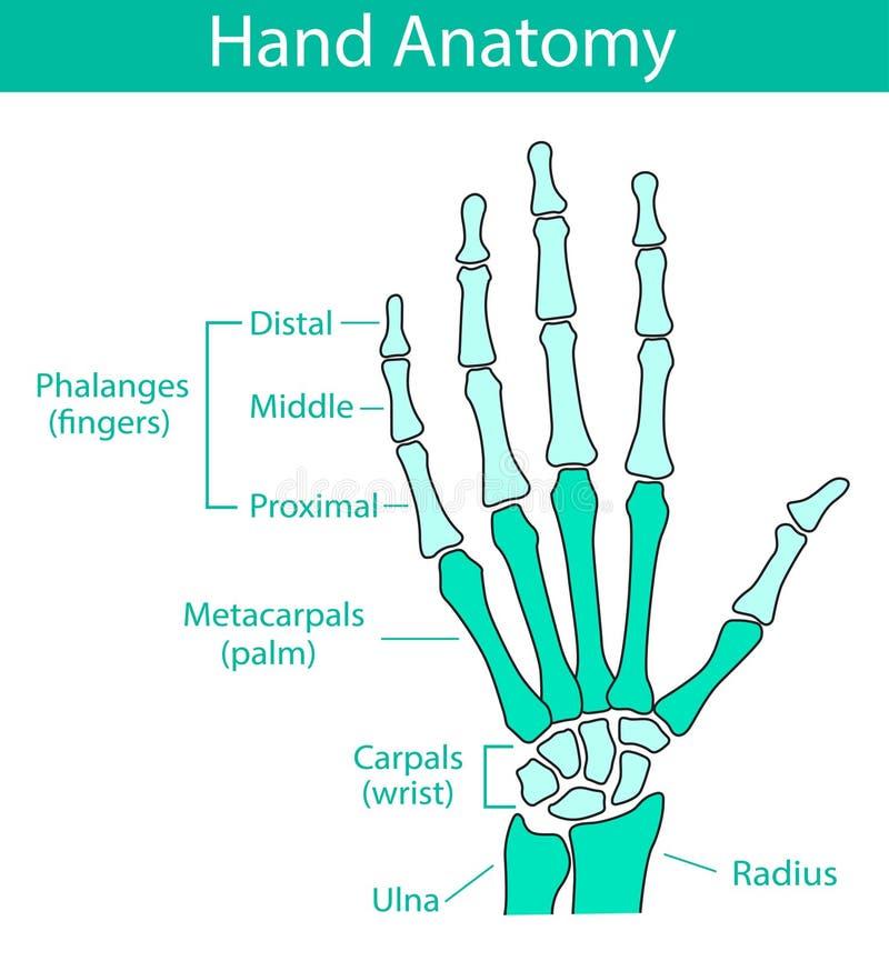 Vektorillustration av skelett- anatomi för mänsklig hand royaltyfri illustrationer