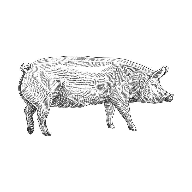 Vektorillustration av svinet i utdragen grafisk stil för hand, svartvit inrista dra illustration royaltyfri illustrationer