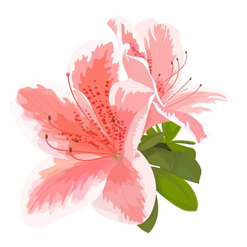 Vektorillustration av två delikata vita blomma för rosa färger och, knopp av rhododendron stock illustrationer