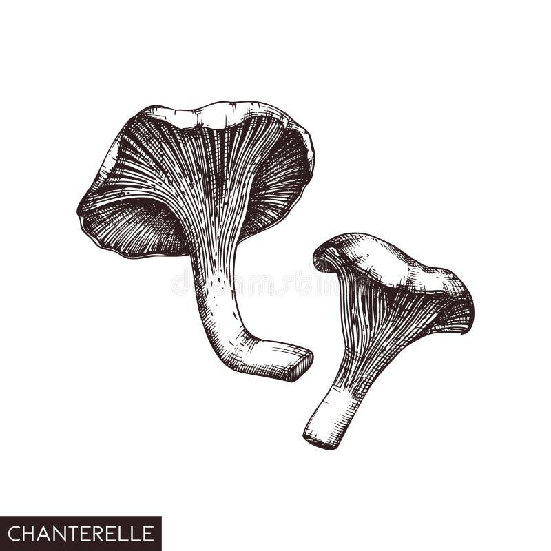 Vektorillustration av utdragna kantarellchampinjoner för hand Skissad organisk produkt för stil som isoleras på vit bakgrund Sund royaltyfri illustrationer