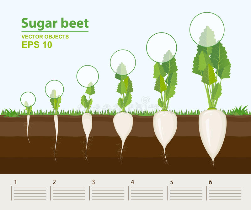 Vektorillustration in der flachen Art Phasen und Stadium des Wachstums, der Entwicklung und der Produktivität der Zuckerrübe im G lizenzfreie abbildung