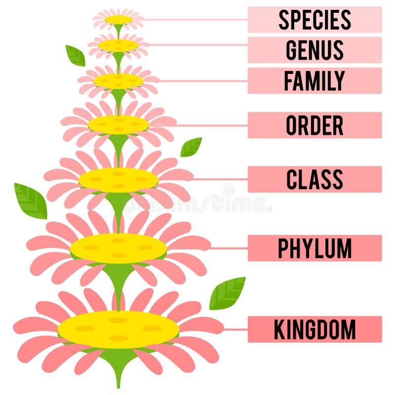 Vektorillustration med viktiga taxonomic ranger av växtkungariket royaltyfri illustrationer