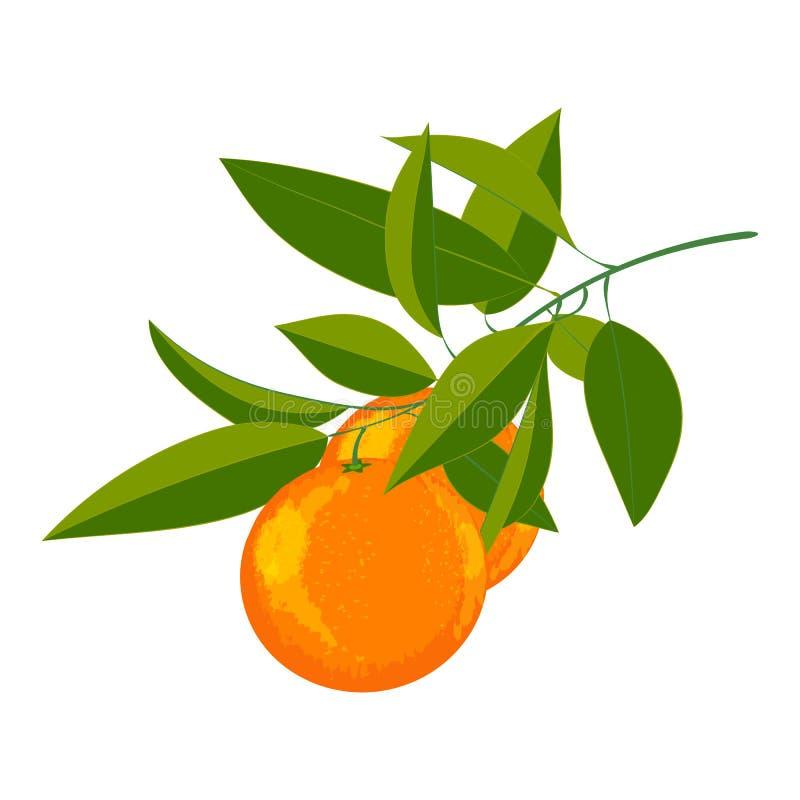 Vektorillustration von frischen Orangen vektor abbildung