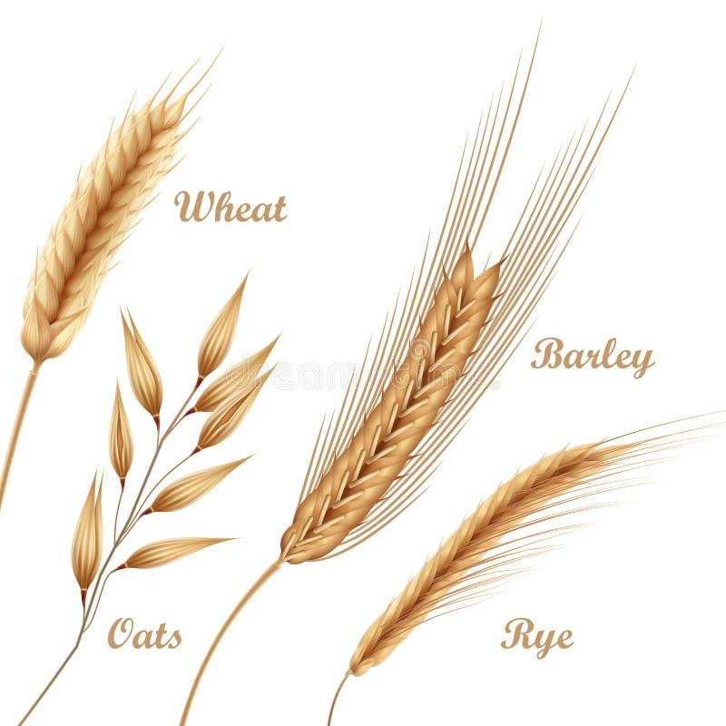 Vektorillustrationen av fyra jordbruks- skördar, sädesslag ställde in med vete, havre, råg, korn i spikelets på bakgrund royaltyfri illustrationer