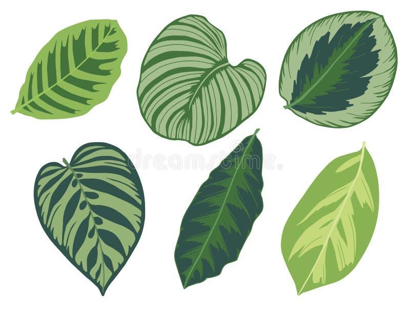 Vektorillustrationuppsättning av sex olika tropiska exotiska sidor för växt för djungelMarantaceaeCalathea bön vektor illustrationer