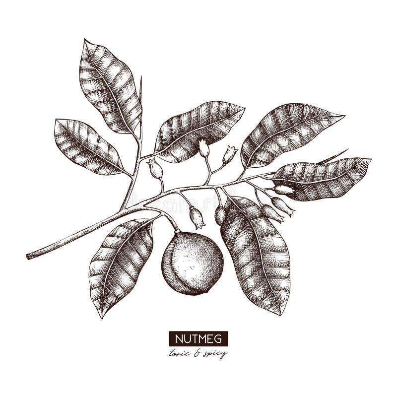 Vektormuskatnussillustration Handgezogene tropische Baumskizze Botanische Designschablone Tonische Zeichnung der Weinlese Betrieb stock abbildung