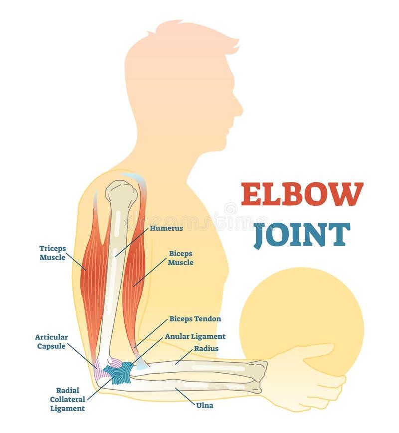 Vektorn för armbågeskarven illustrerade diagrammet, medicinsk intrig stock illustrationer