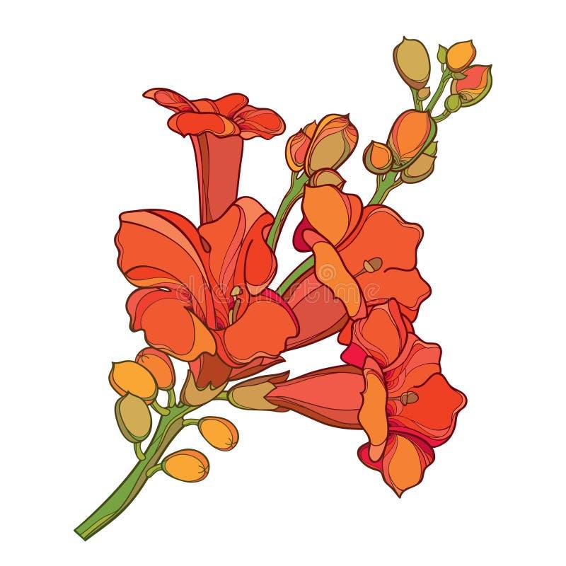 Vektorniederlassung mit Entwurf orange Campsis-radicans oder Trompetenrebblütebündel mit der Knospe lokalisiert auf weißem Hinter stock abbildung