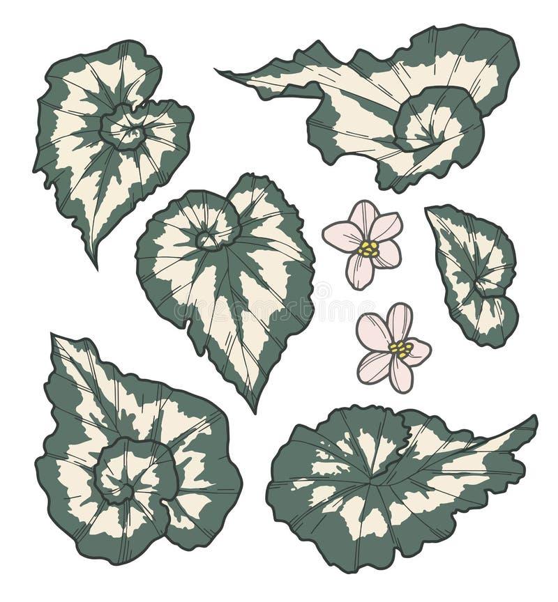 Vektorsamlingsuppsättning av exotiska teckningar för för Rex Cultorum Begonia China Curl växtblad och blomma vektor illustrationer