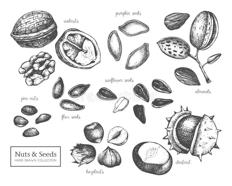 Vektorsammlung Handgezogene Samen- und -nussskizzen Walnuss, Haselnuss, Mandel, Kastanie, Kiefernnuß, Sonnenblume, Kürbis, Flachs lizenzfreie abbildung