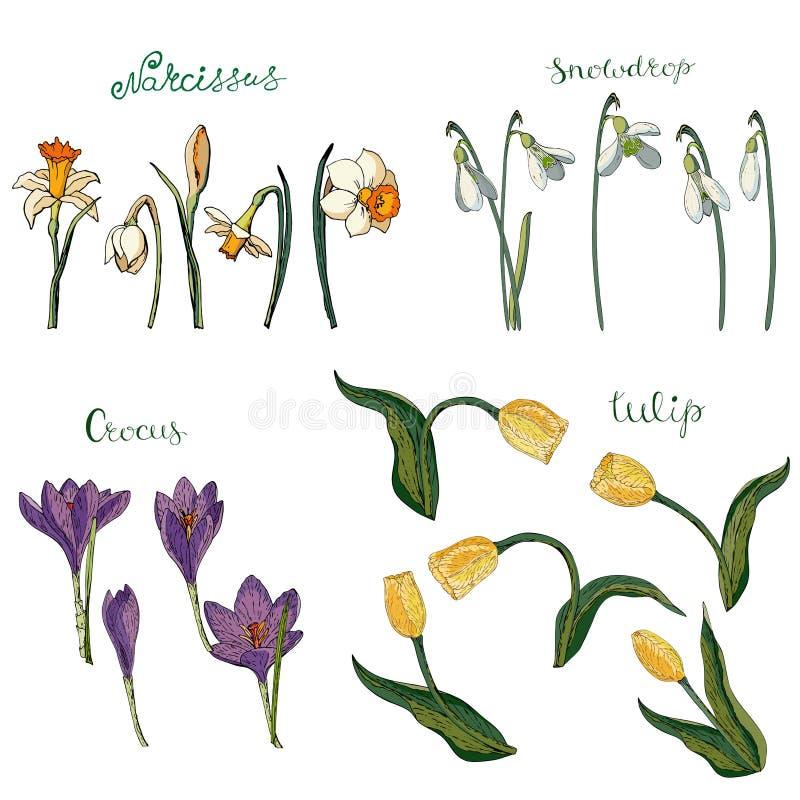 Vektorsammlung lokalisierte Frühlingsblumen auf Weiß lizenzfreie abbildung