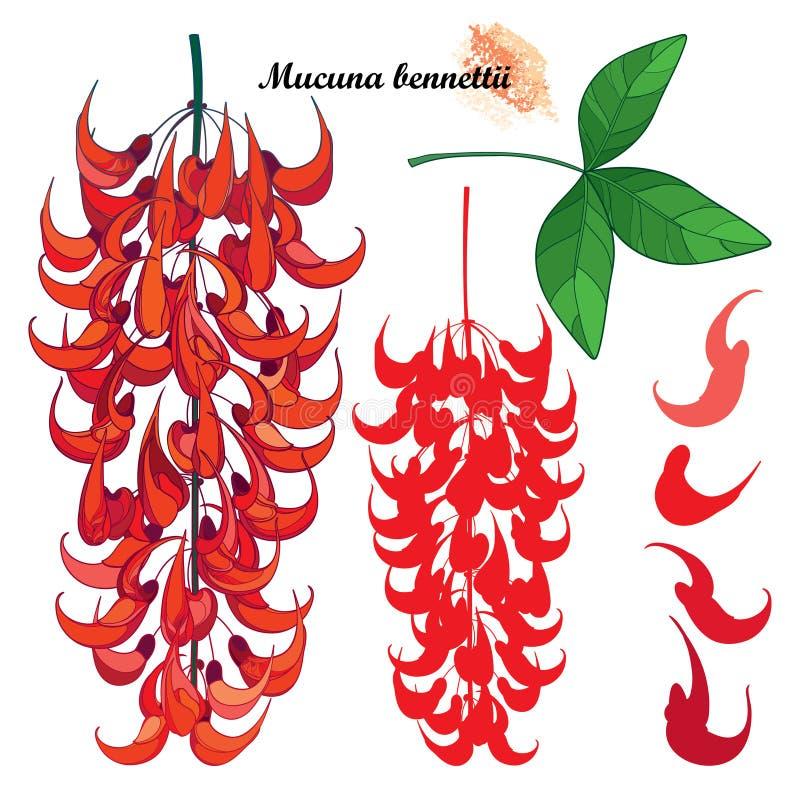 Vektorsatz Entwurf Mucuna bennettii oder Neu-Guinea Kriechpflanze oder rotes Jaderebblütebündel, Knospe und Blätter lokalisiert a stock abbildung