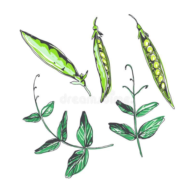 Vektorsatz Erbsenhülsen und -blätter in der Skizzenart Handgezogene botanische Illustration mit den Betriebselementen lokalisiert lizenzfreie abbildung