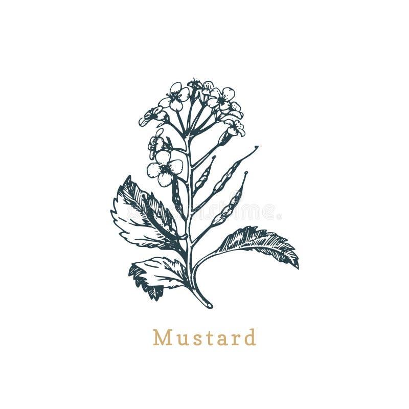 Vektorsenap skissar Utdragen krydda, medicinsk ört Botanisk illustration av den organiska växten Shoppa etiketten, använt för lan stock illustrationer
