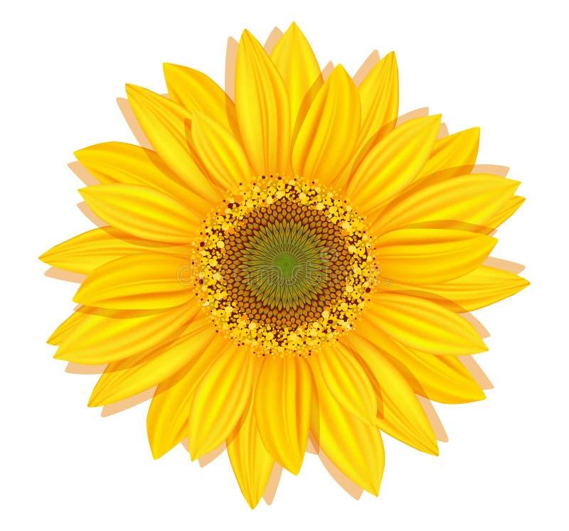 Vektorsonnenblumen auf einem weißen Hintergrund lizenzfreie abbildung