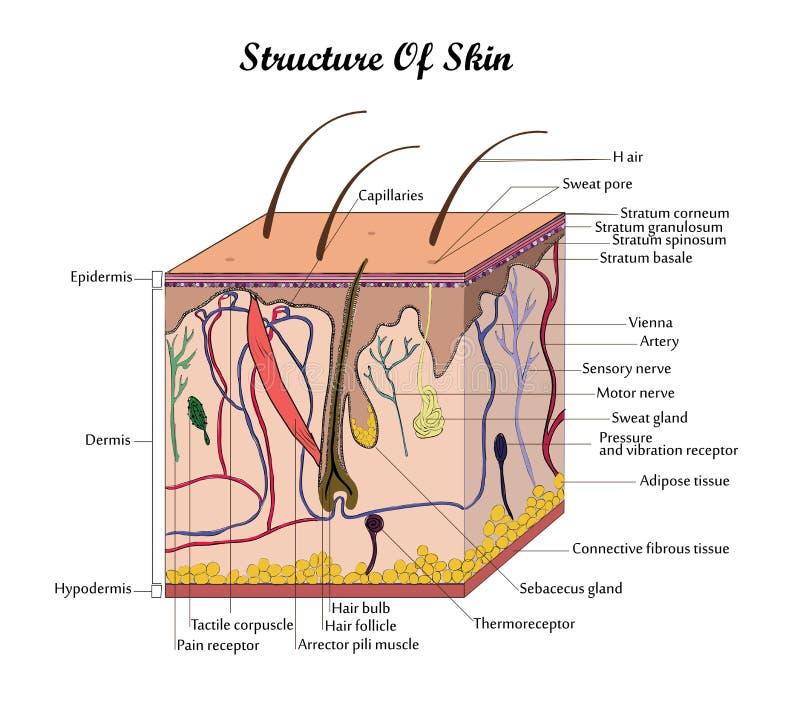 Vektorstruktur der Haut stock abbildung