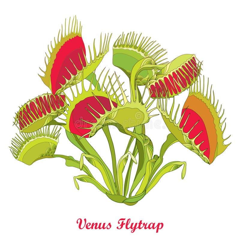 Vektorteckningen av den Venus Flytrap eller Dionaeamuscipulaen med öppet och stänger fälla i rött och grönt som isoleras på vit b vektor illustrationer