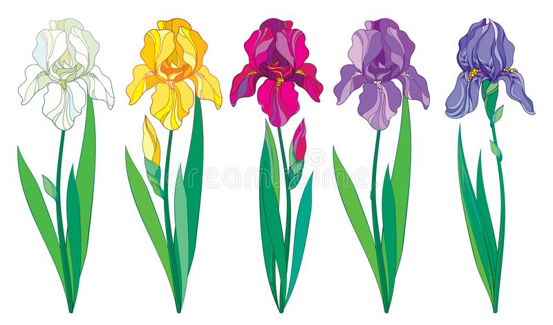 Vektoruppsättning med översiktslilor, lilan, den vita irisblomman för guling och för pastell, knoppen och sidor som isoleras på v royaltyfri illustrationer