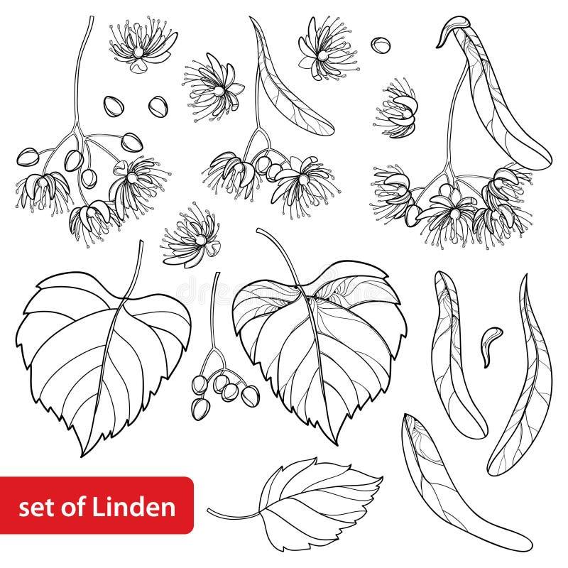 Vektoruppsättning med gruppen för översiktslind- eller tilia- eller Basswoodblomma, bract, frukt och utsmyckat blad i svart som i vektor illustrationer