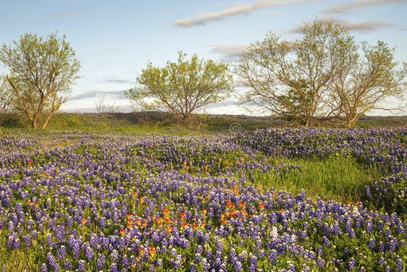 Veld Bluebonnets and PaintBruse, Mach Road, Near Ennis, Texas stock afbeeldingen