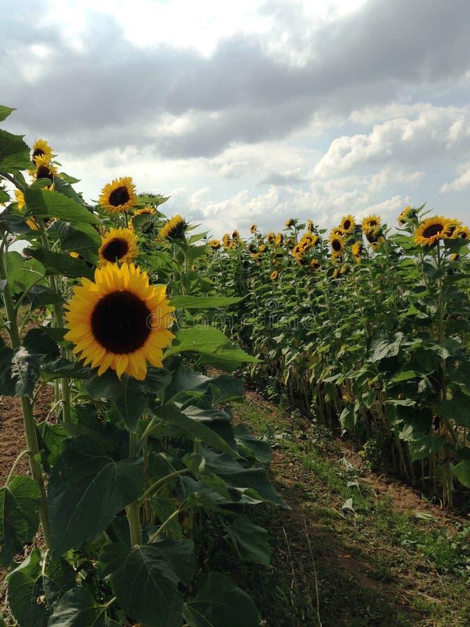 Veld met zonnebloemen stock fotografie